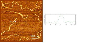 Fig. 2. Tapping mode topography image of DNA (Agilent 5500 AFM, diamond SCD probe). Scan size 750 nm. Scan height 1 nm. Image courtesy of S. Magonov, Agilent Technologies.